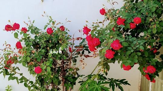 rose tea at home