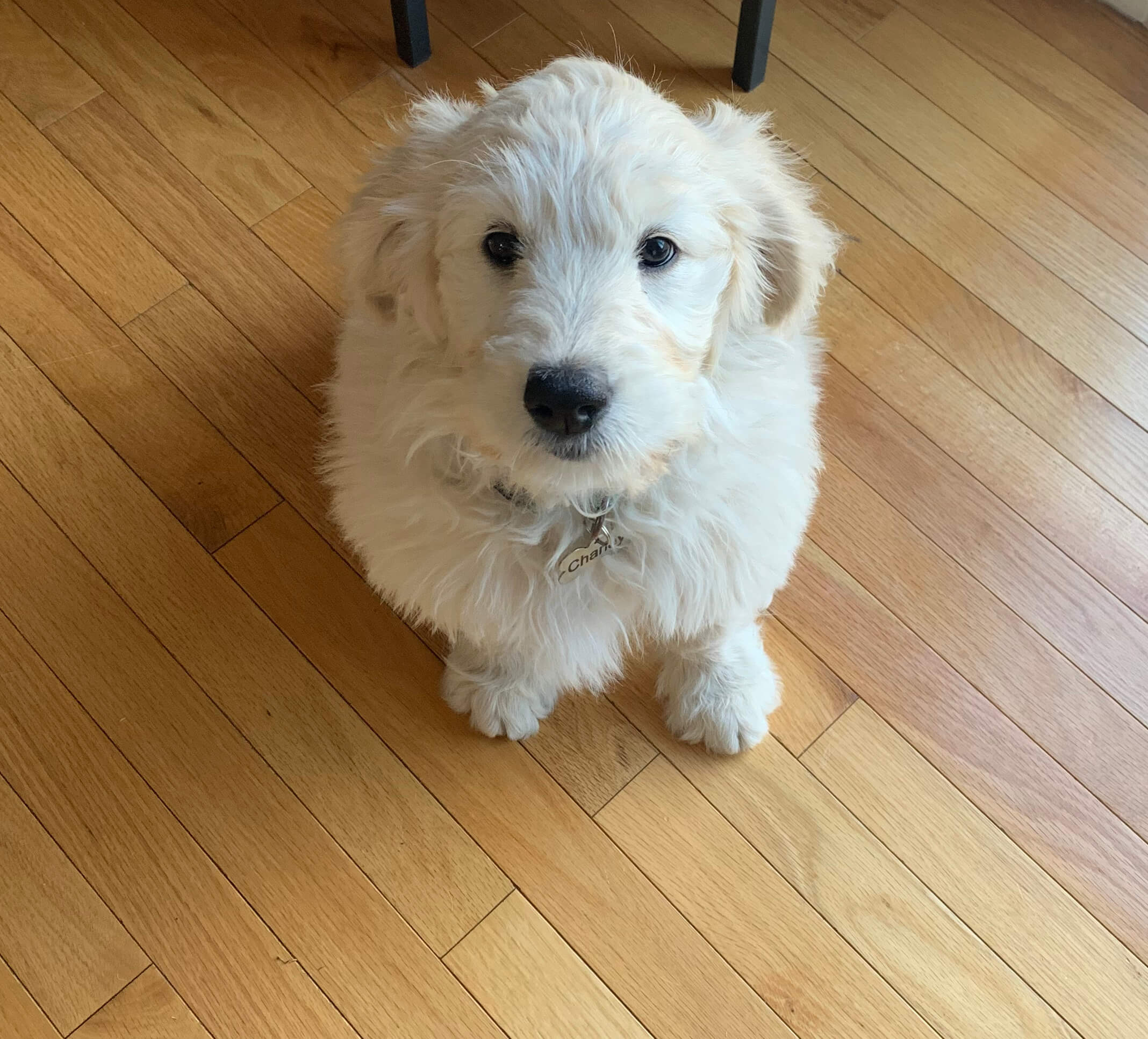 Photograph of cute fluffy white dog who is not dehydrated.